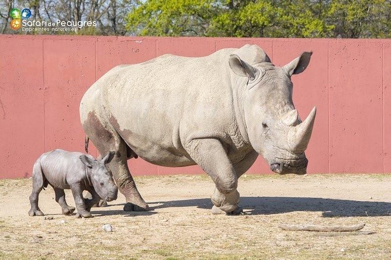 白犀牛母子。(照片轉載自Safari de Peaugres臉書)