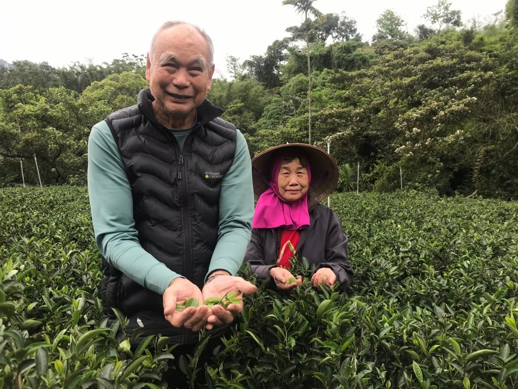 照片來源:有機茶農鄭永吉(左)及鄭太太(右)在茶園間手採茶。(照片由新北市政府農業局提供)