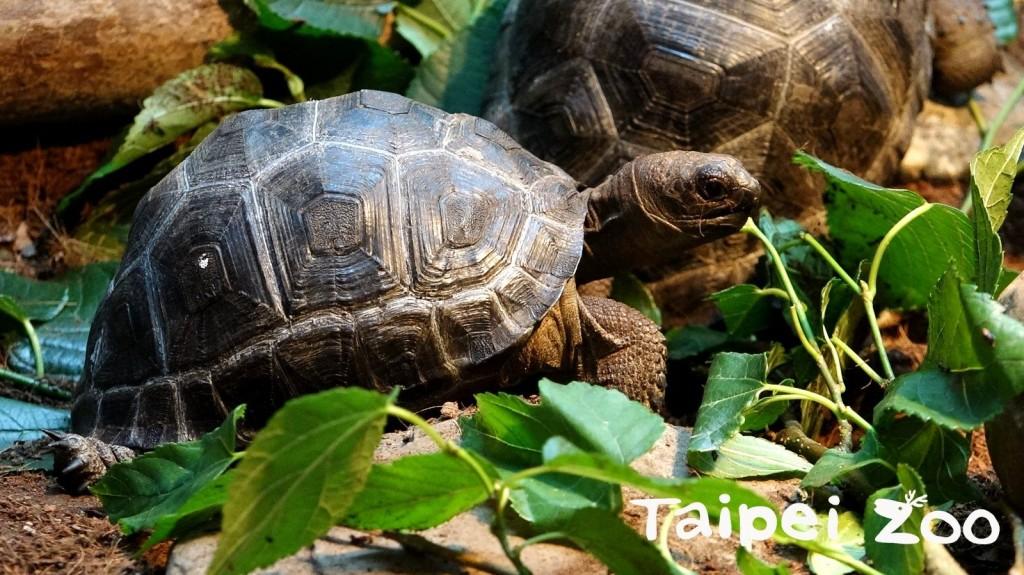 亞達伯拉象龜。(照片由台北市立動物園提供)