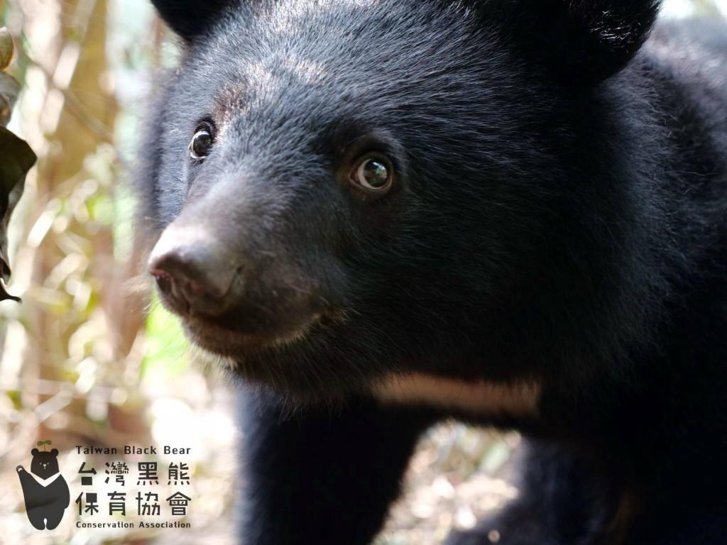 照片載自台灣黑熊保育協會臉書