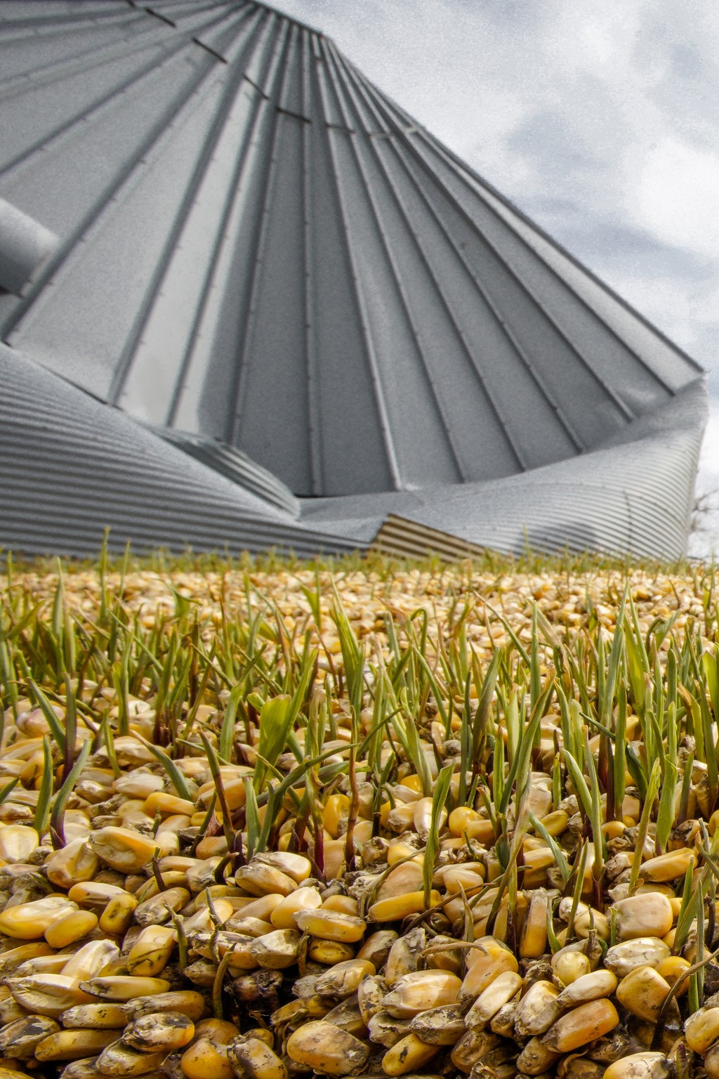 In this Wednesday, April 10, 2019 photo, corn seed begins to sprout after bursting out of a destroyed grain silo due to flooding on a farm in Bellevue