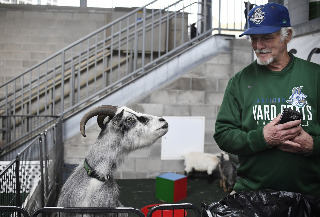 Animal trainer Ted Krogh looks at Hartford Yard Goats mascot Fancy Pants, left, while in a pen together at Dunkin' Donuts Park during a game against t...