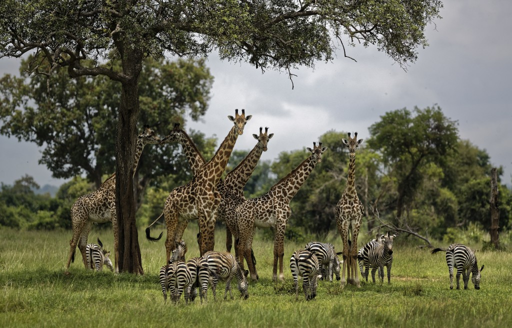 FILE - In this Tuesday, March 20, 2018 file photo, giraffes and zebras congregate under the shade of a tree in the afternoon in Mikumi National Park,