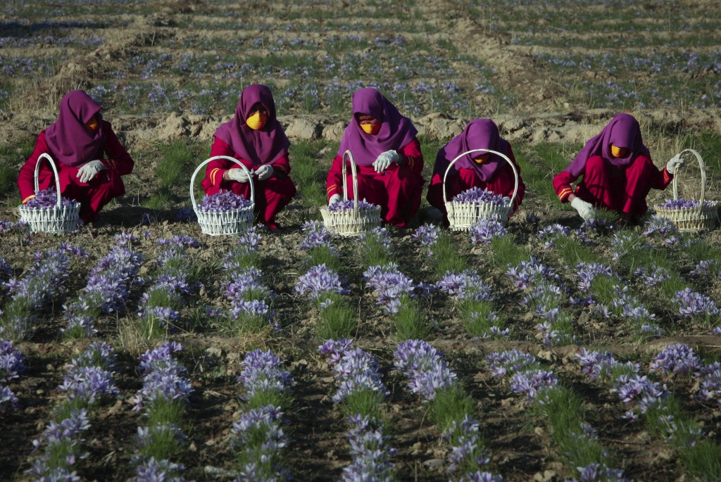 FILE - In this Nov. 27, 2013, file, photo, Afghan women work in a saffron field in Herat, Afghanistan, where, 90 percent of the former poppy farmers h