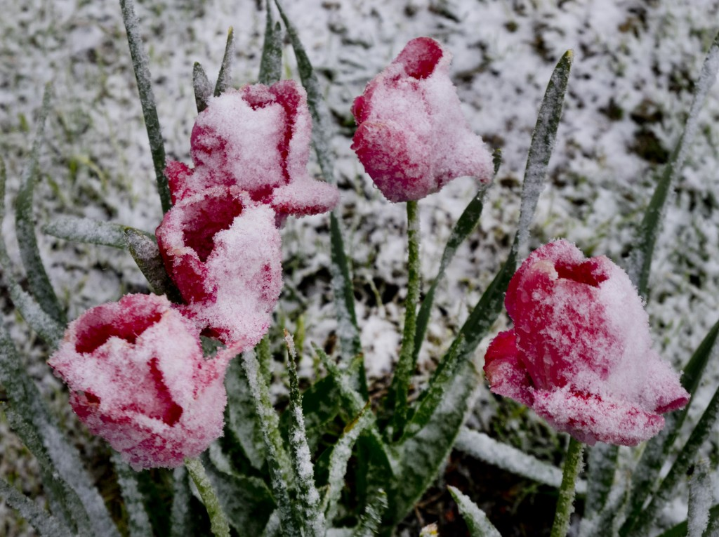 Tulips are covered with snow during heavy snow falls in Seelenberg near Frankfurt, Germany, Saturday, May 4, 2019. (AP Photo/Michael Probst)