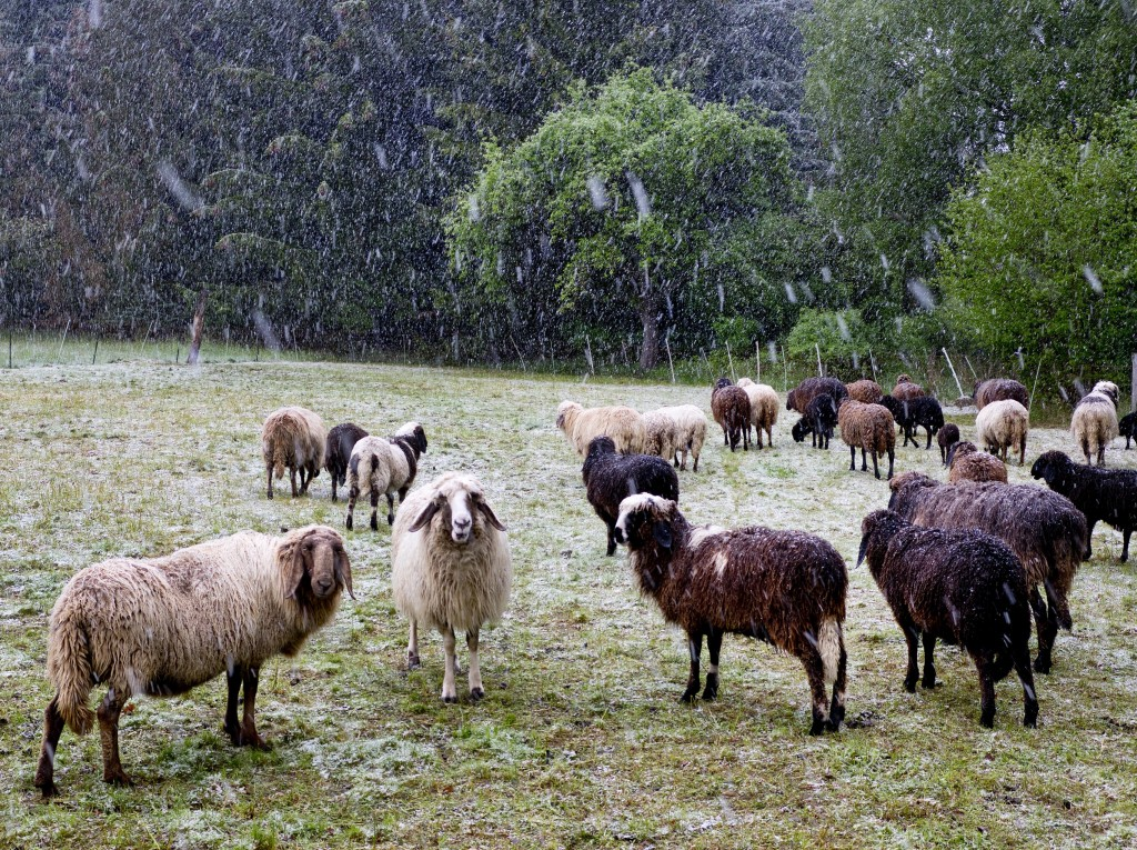 Sheep stand on a meadow during heavy snow falls in Neu Anspach near Frankfurt, Germany, Saturday, May 4, 2019. (AP Photo/Michael Probst)