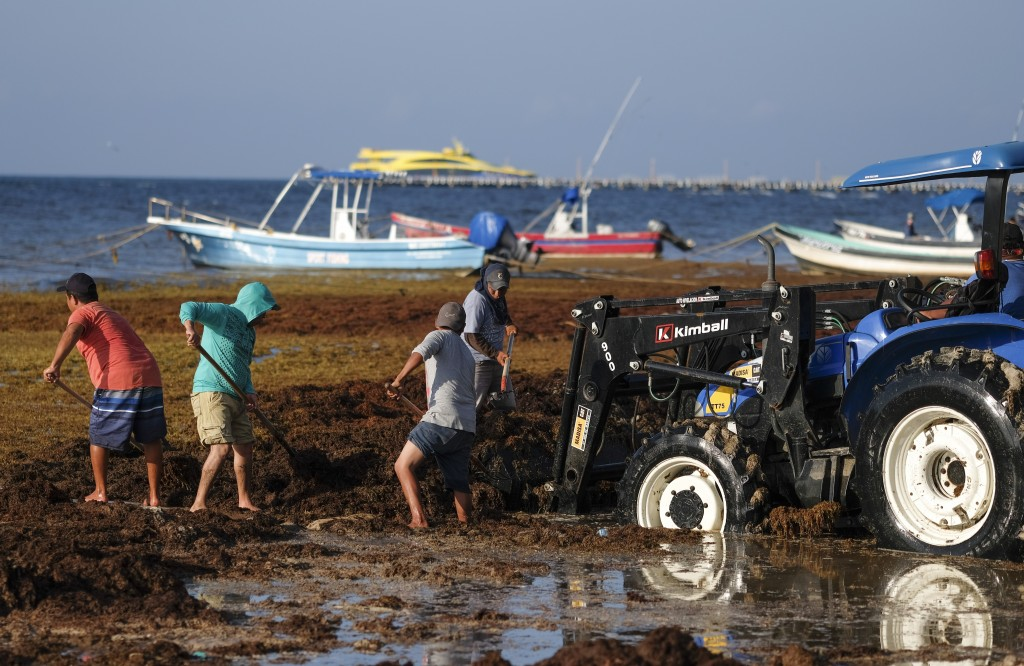 Workers remove sargassum seaweed from the beach in Playa del Carmen, Mexico, Wednesday, May 8, 2019. Shoveling or bulldozing up sargassum once it wash...