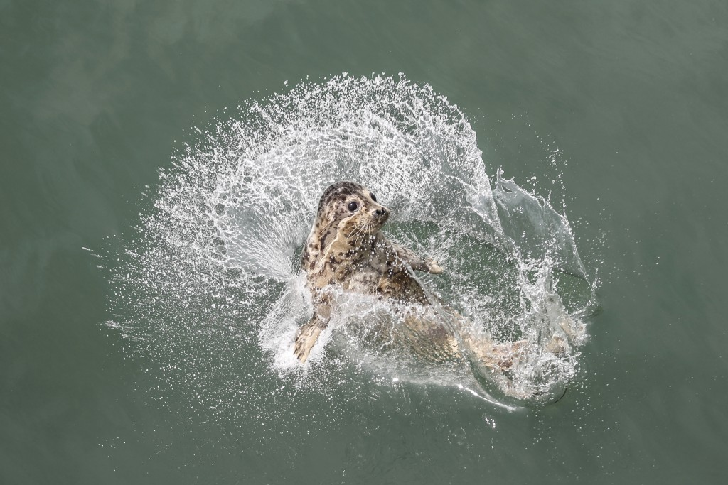 In this Friday, May 10, 2019, photo released by China's Xinhua News Agency, a spotted seal splashes into the water after being released by officials n