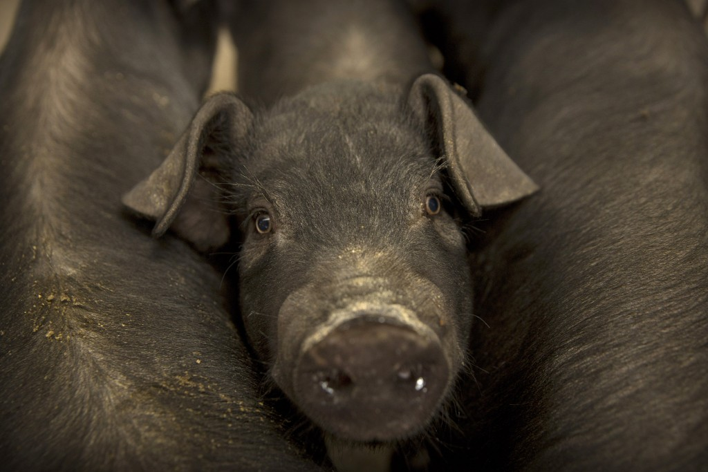 In this May 8, 2019, photo, a pig stands between other pigs in a barn at a pig farm in Jiangjiaqiao village in northern China's Hebei province. Pork l