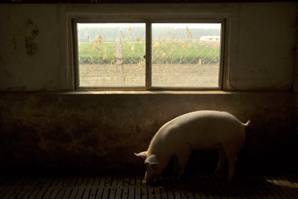 In this May 8, 2019, photo, a pig walks near a window in a barn at a pig farm in Jiangjiaqiao village in northern China's Hebei province. Pork lovers