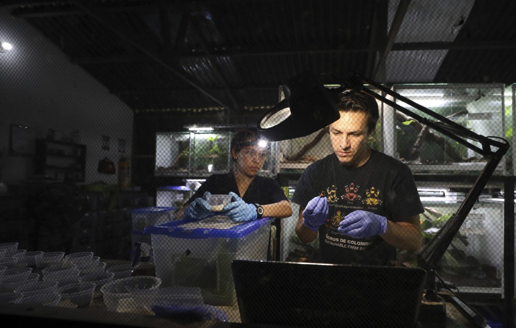 """Zoo-technologists Alejandra Curubo, left, and Ivan Ramos pack frogs for export to the U.S. at the """"Tesoros de Colombia"""" frog breeding center in Cundin..."""