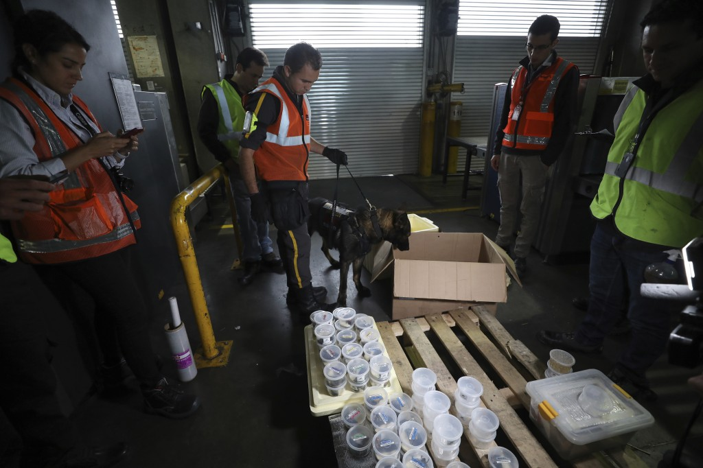 """Customs officials inspect a shipment of frogs reproduced at the """"Tesoros de Colombia"""" breeding center before it's export to the U.S. at the internatio..."""
