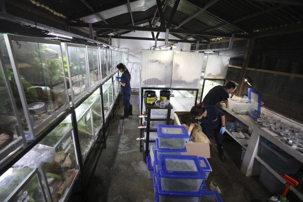 """Workers pack frogs for export to the U.S. at the """"Tesoros de Colombia"""" frog breeding center in Cundinamarca, Colombia, Monday, May 20, 2019. The cente..."""