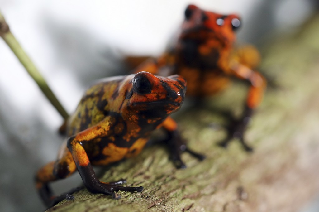"""Oophaga histrionica red head frogs stand inside the glass container where they are bred at the """"Tesoros de Colombia"""" frog breeding center in Cundinama..."""