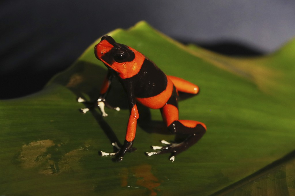 """An Oophaga lehmanni """"Red"""" stands at the """"Tesoros de Colombia"""" frog breeding center in Cundinamarca, Colombia, Monday, May 20, 2019. The species, that ..."""