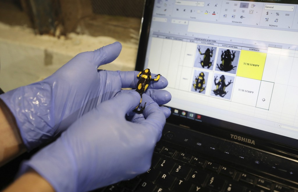 """A worker of the """"Tesoros de Colombia"""" frog breeding center inspects an Oophaga histrionica before packing it for export to the U.S. in Cundinamarca, C..."""
