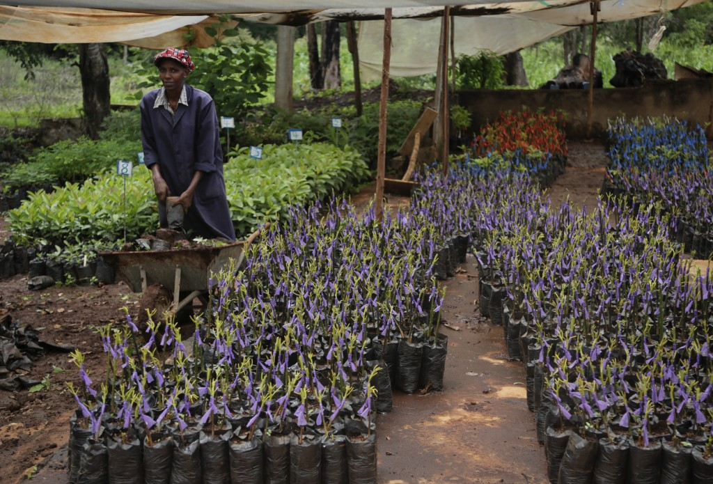 In this photo taken Friday, April 26, 2019, mulberry plants are grown at the National Sericulture Research Center in Thika, Kenya. A growing number of...