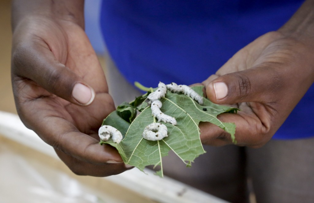 In this photo taken Friday, April 26, 2019, research assistant Catherine Ndumi Musyoka holds mulberry leaves as silkworms feed on them, at the Nationa