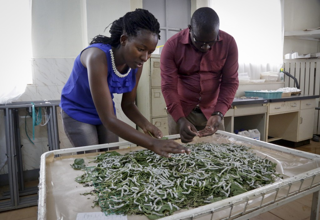 In this photo taken Friday, April 26, 2019, research assistants Catherine Ndumi Musyoka and Muthama Eric feed silkworms with mulberry leaves at the Na