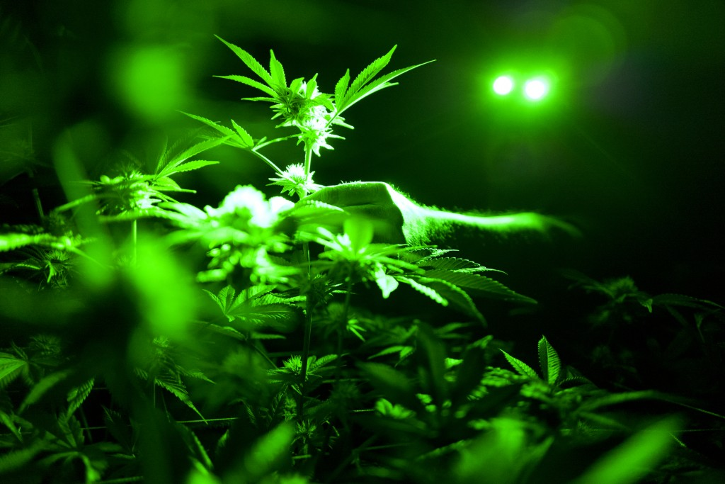 FILE - This May 20, 2019 file photo shows marijuana plants in a grow room using green lights during their night cycle in Gardena, Calif. According to