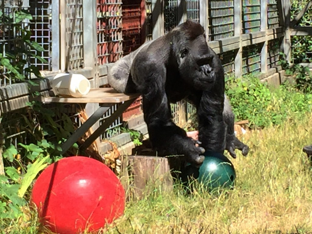 FILE - In this 2016 file photo provided by the Cincinnati Zoo and Botanical Garden, the silverback gorilla Ndume picks up a toy at The Gorilla Foundat