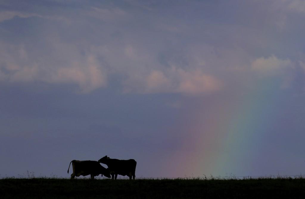 Cows stand under a rainbow in Ruderatshofen, Germa...