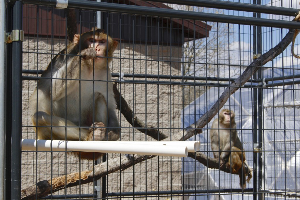 In this May 13, 2019, photo, River, left, and Timon, both rhesus macaques, sit in an outdoor enclosure at Primates Inc., in Westfield, Wis. It's a san