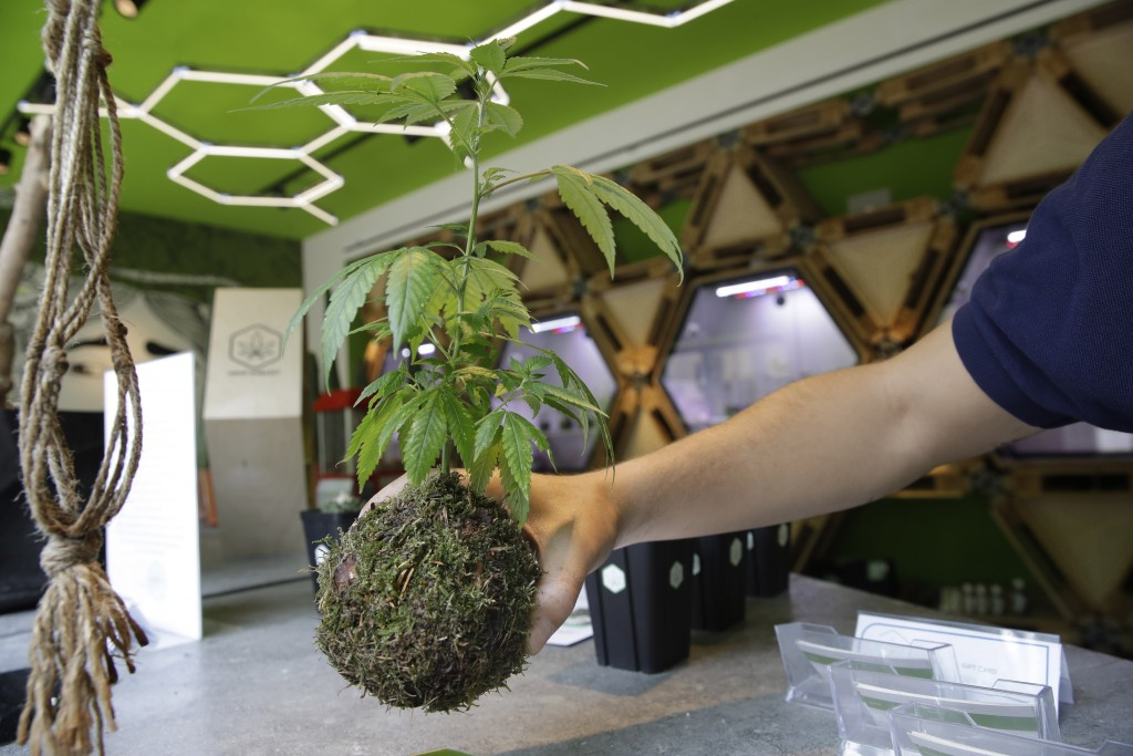In this Thursday, June 6, 2019 photo, a shop assistant holds a Kokedama moss ball cannabis light plant at a cannabis light store in Milan, Italy. It's...