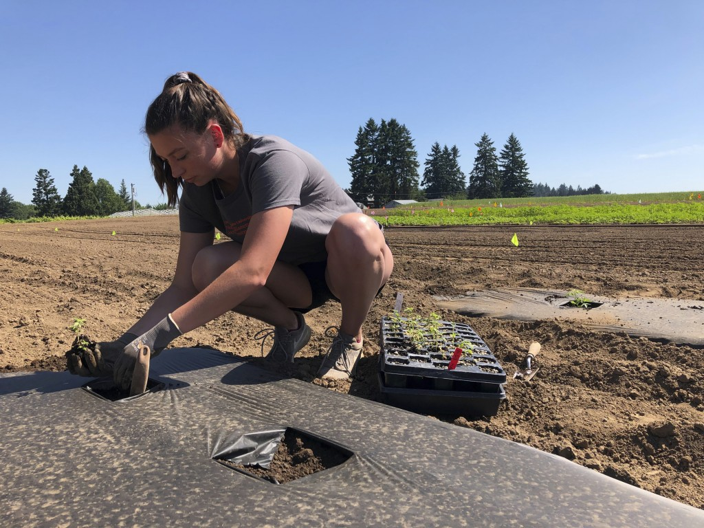 In this Thursday, June 13, 2019, photo, Jennifer Lane, a student intern at the Oregon State University Extension Center, plants a hemp seedling in a f