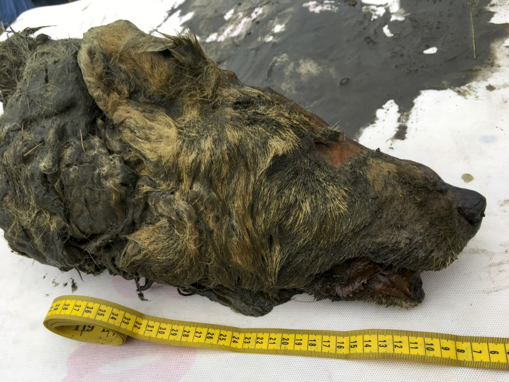 In this Sept. 6, 2018, photo, the head of an Ice Age wolf is seen after it was found during an expedition of the Mammoth Fauna Study Department at the