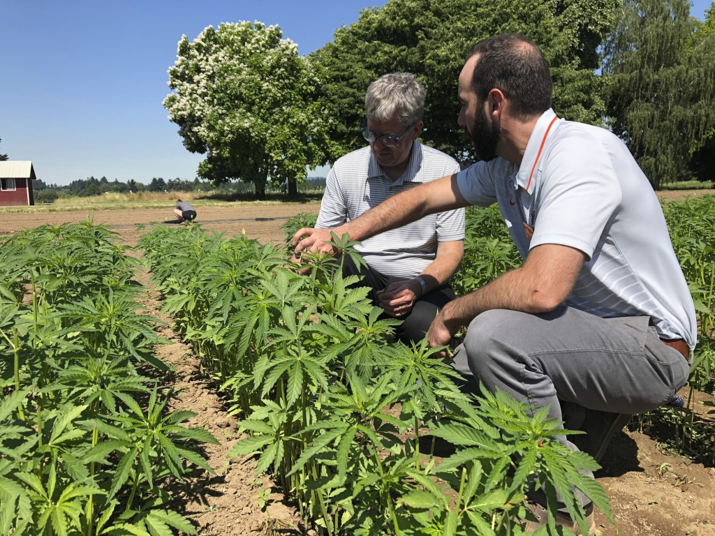 In this Thursday, June 13, 2019, photo, Jay Noller, director and lead researcher for Oregon State University's newly formed Global Hemp Innovation Cen