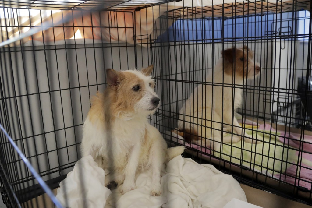 Parson Russell terriers, two of many terriers confiscated from a home in Kingwood, N.J., sit in a kennel at St. Hubert's Animal Welfare Center after b