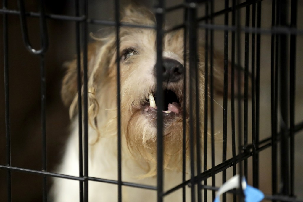 A Parson Russell terrier, one of many terriers confiscated from a home in Kingwood, N.J., sits in a kennel at St. Hubert's Animal Welfare Center after