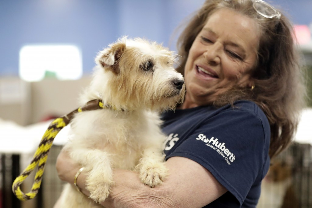 Nora Parker, vice president of St. Hubert's Animal Welfare Center, holds one of the many Parson Russell terriers confiscated from a home in Kingswood,