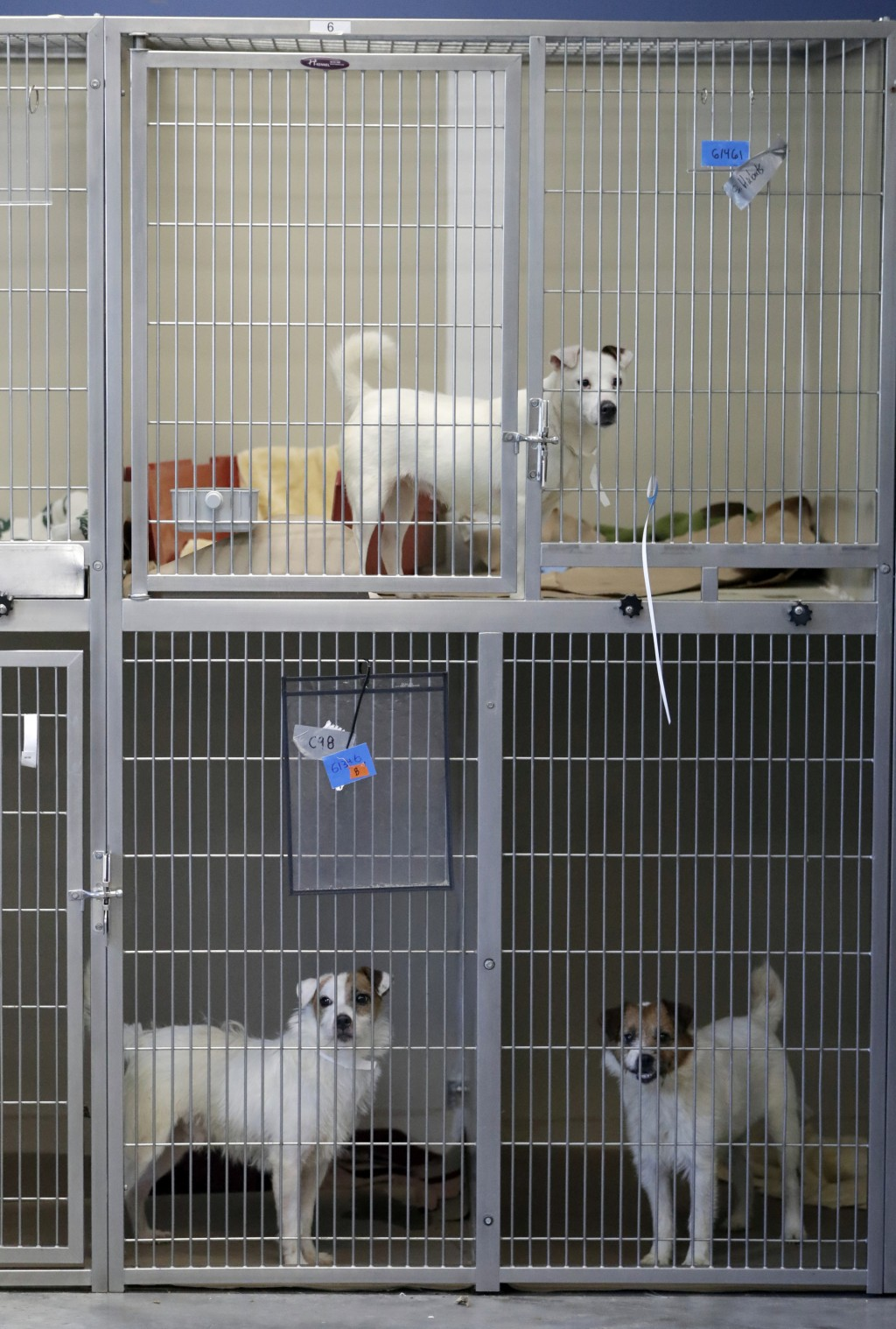 Parson Russell terriers, some of many terriers confiscated from a home in Kingwood, N.J., sits in a kennel at St. Hubert's Animal Welfare Center after