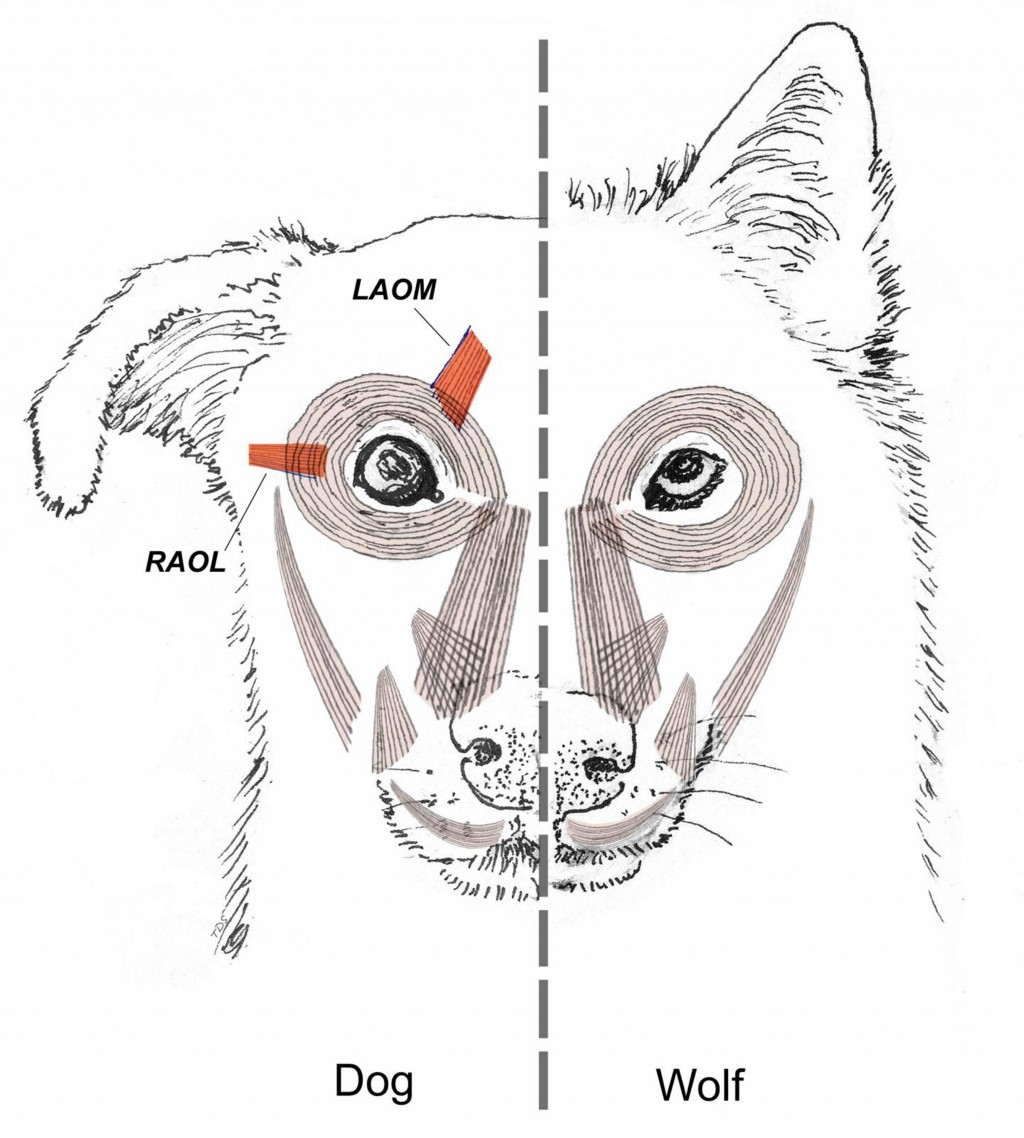 This diagram provided by Tim Smith in June 2019 shows a comparison between dog and wolf facial muscles. A study released on Monday, June 17, 2019 sugg...