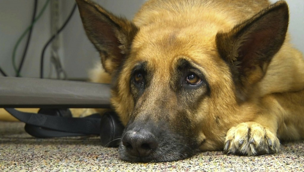 FILE - This Feb. 18, 2014 shows Lexy, a therapy dog at Fort Bragg, N.C. A study released on Monday, June 17, 2019 suggests that over thousands of year...