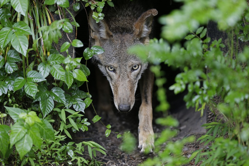 FILE - In this Monday, May 13, 2019 file photo, a female red wolf emerges from her den sheltering newborn pups at the Museum of Life and Science in Du