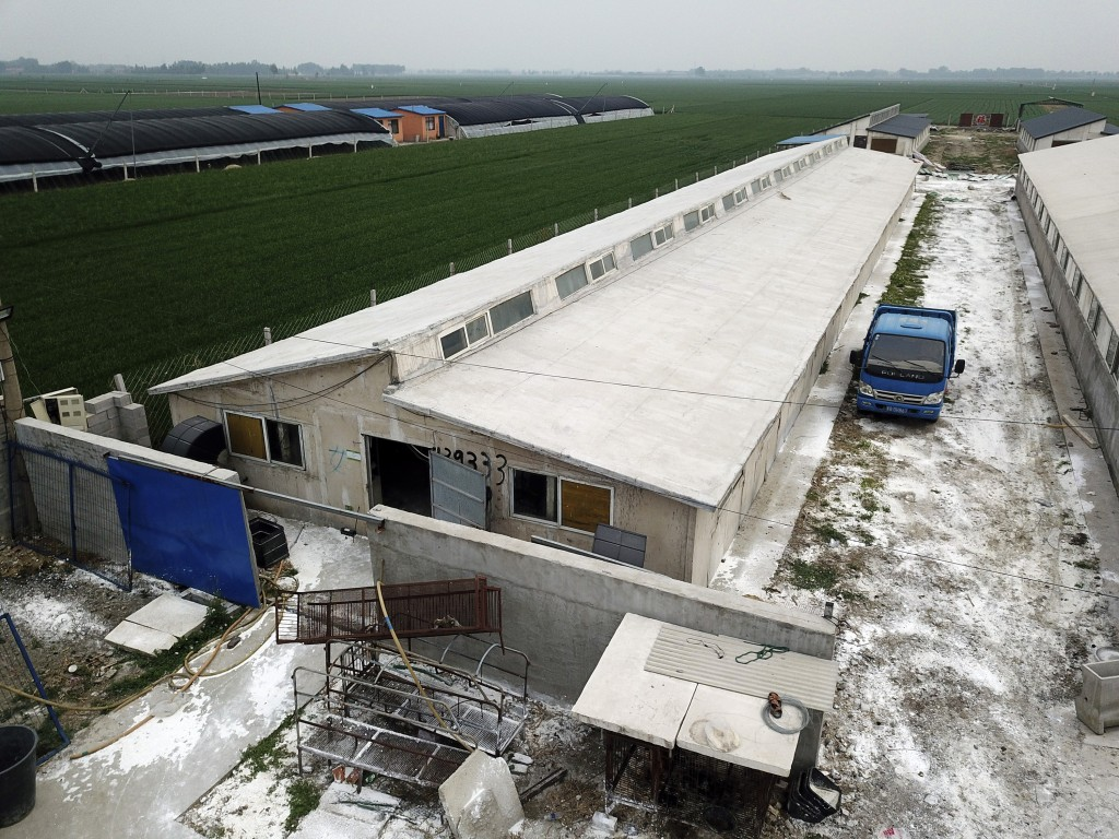 In this May 8, 2019, aerial photo, white disinfectant powder is sprinkled on the soil around a pig farm in Jiangjiaqiao village in northern China's He...
