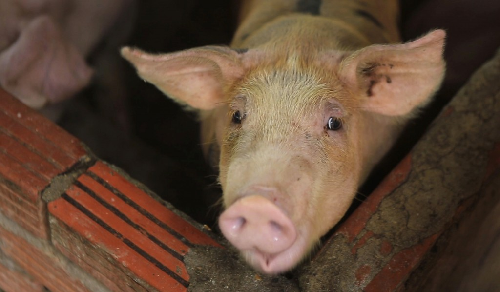 In this May 30, 2019, photo, a pig is seen in a pen in My Duc district, Hanoi, Vietnam. Asian nations are scrambling to contain the spread of the high...