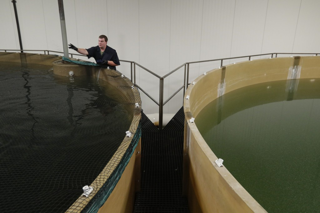 Joseph Michael, of Holly, Mich. feeds Atlantic salmon in one off the tanks at the AquaBounty Technologies commercial fish farm in Albany, Ind., Wednes