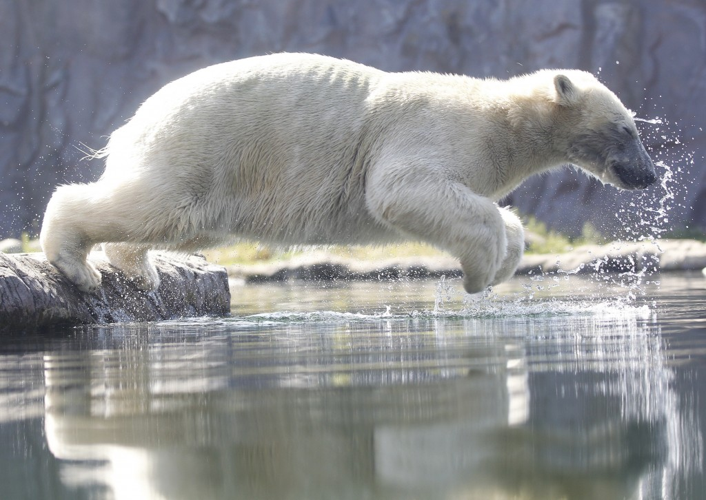 Polar bear Nanook jumps into the water at the zoo in Gelsenkirchen, Germany, June 25, 2019. Germany faces a heatwave with temperatures up to 40 degree...