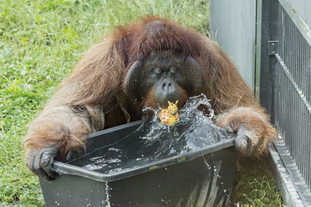 HANDOUT - An orang-utan plays with water at the zoo Schoenbrunn in Vienna, Austria, Tuesday, June 25, 2019. Europe is facing a heatwave with temperatu...