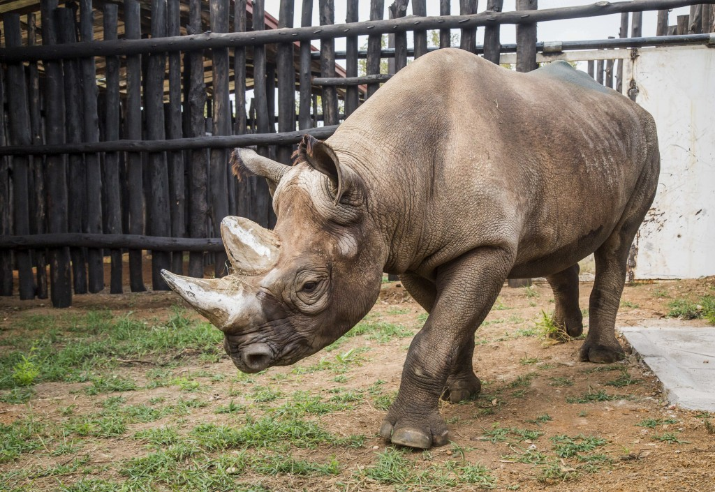 In this photo released by African Parks, a critically endangered eastern black rhino walks around its boma, or enclosure, just after being offloaded f...