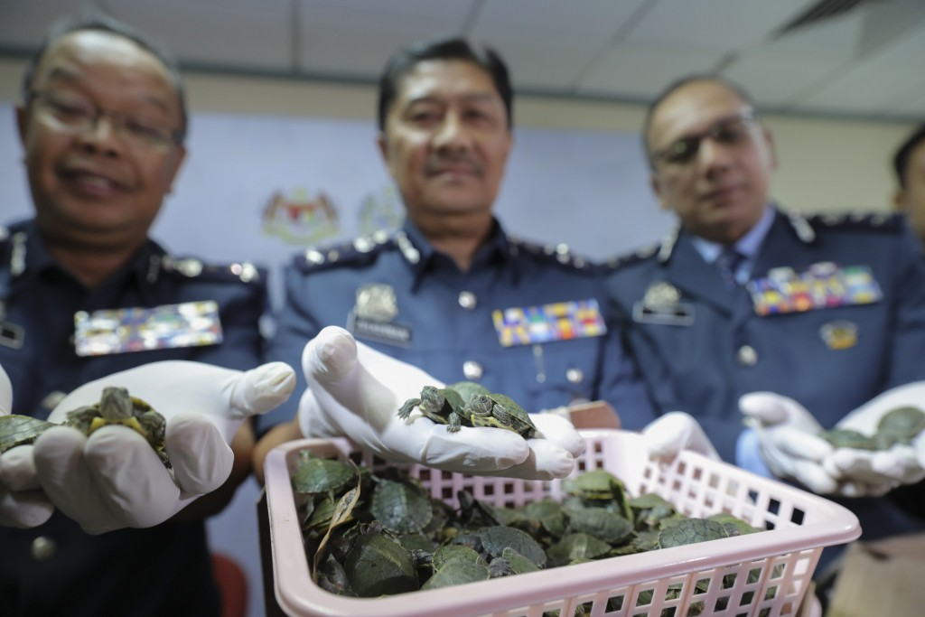 Customs officials display seized turtles at the customs office Wednesday, June 26, 2019, in Sepang, Malaysia. Two Indian citizens were arrested due to...