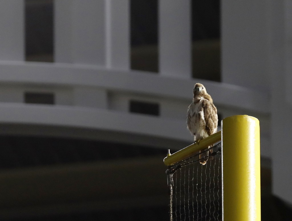 A red-tailed Hawk sits atop the right field foul pole at Yankee Stadium during a baseball game between the New York Yankees and the Toronto Blue Jays,...