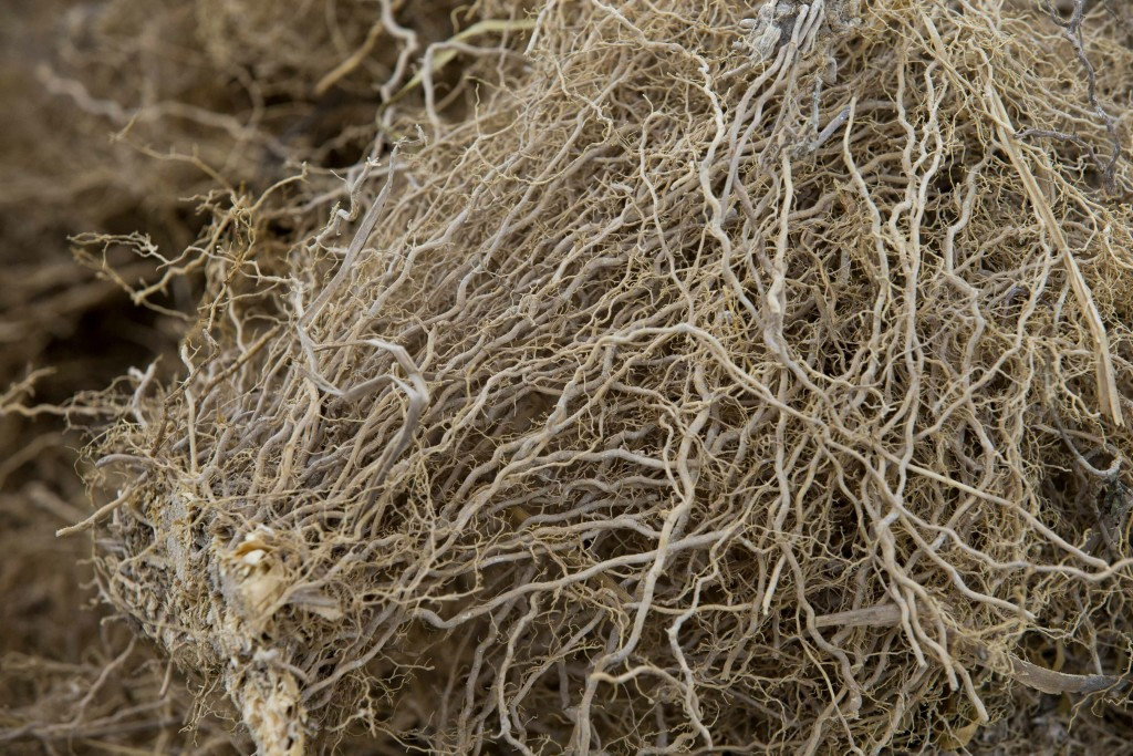 This May 27, 2019 photo shows vetiver roots, used to produce an essential oil used in fine perfumes, at the Frager's factory in Les Cayes, Haiti. Veti