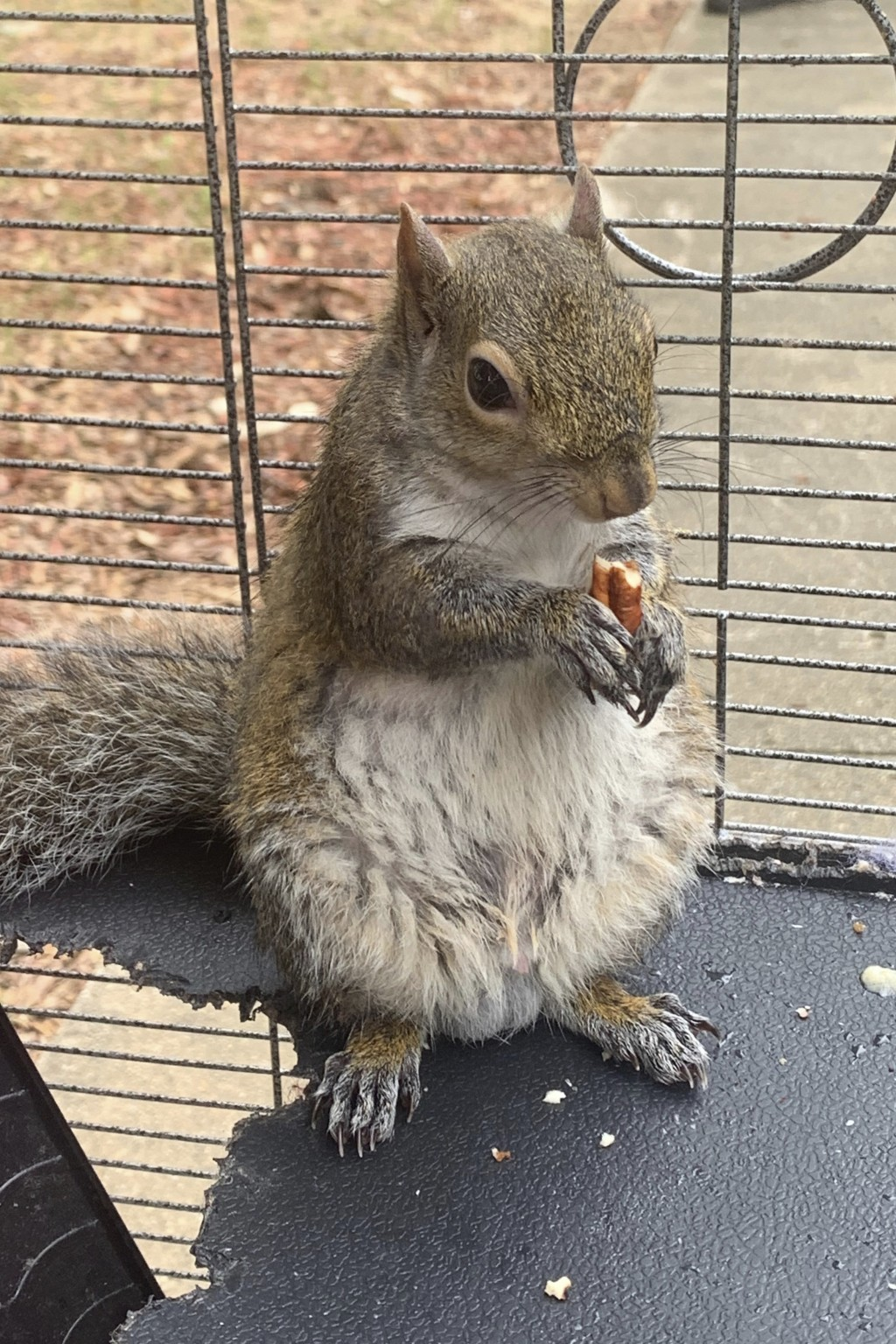 FILE - In this June 2019 file photo released by the Limestone County Sheriff's Office, a squirrel is shown in a cage, in Ala. An Alabama man who denie...