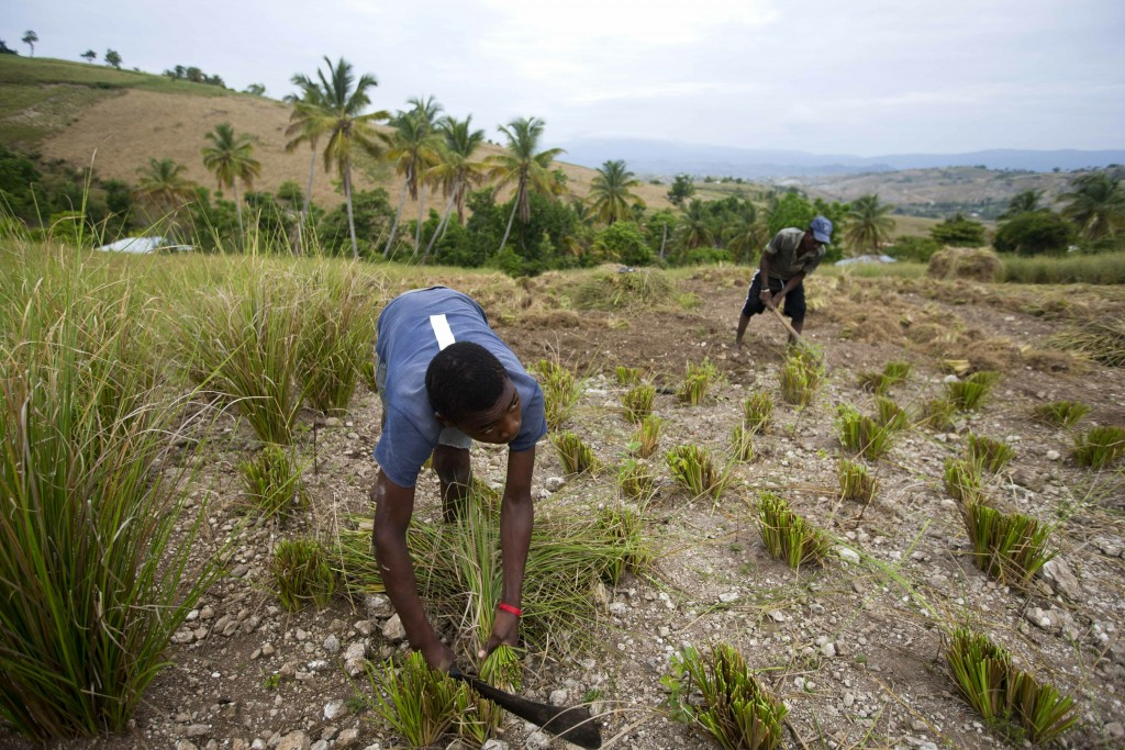 In this May 27, 2019 photo, Frito Absolu uses a machete to trim vetiver plants on a hillside in Les Cayes, Haiti. Vetiver oil, which is used for cosme