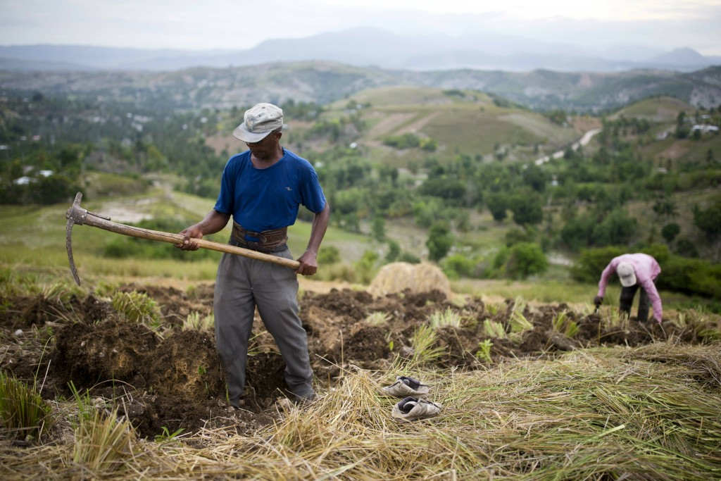 In this May 27, 2019 photo, Thomas Absolue, 64, harvests vetiver roots, used to produce an essential oil used in fine perfumes, on a farm in Les Cayes